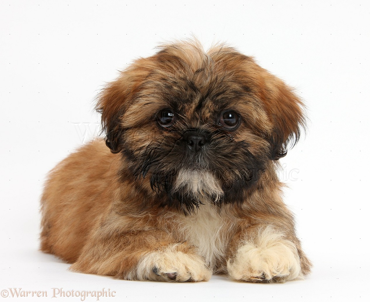 Dog Brown Shih Tzu Pup Lying With Head Up Photo Wp38154