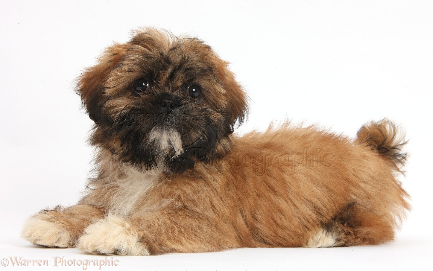 Dog Brown Shih Tzu Pup Lying With Head Up Photo Wp38155