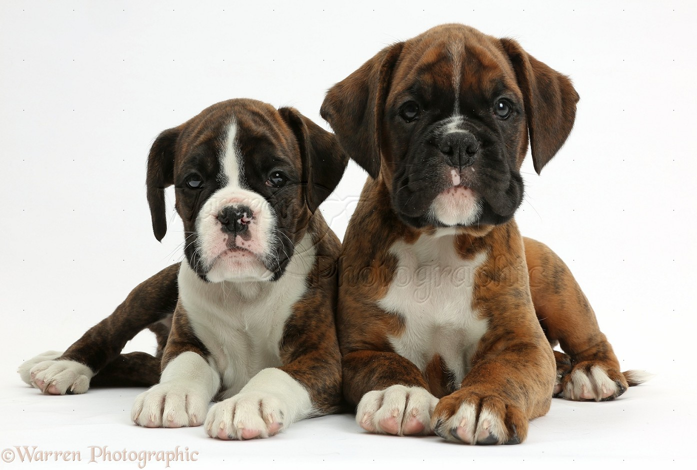 dogs two boxer puppies 8 weeks old photo wp38160