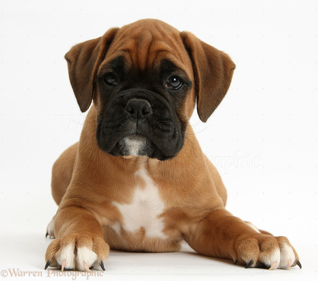 Dog Boxer Puppy Photo Wp38166