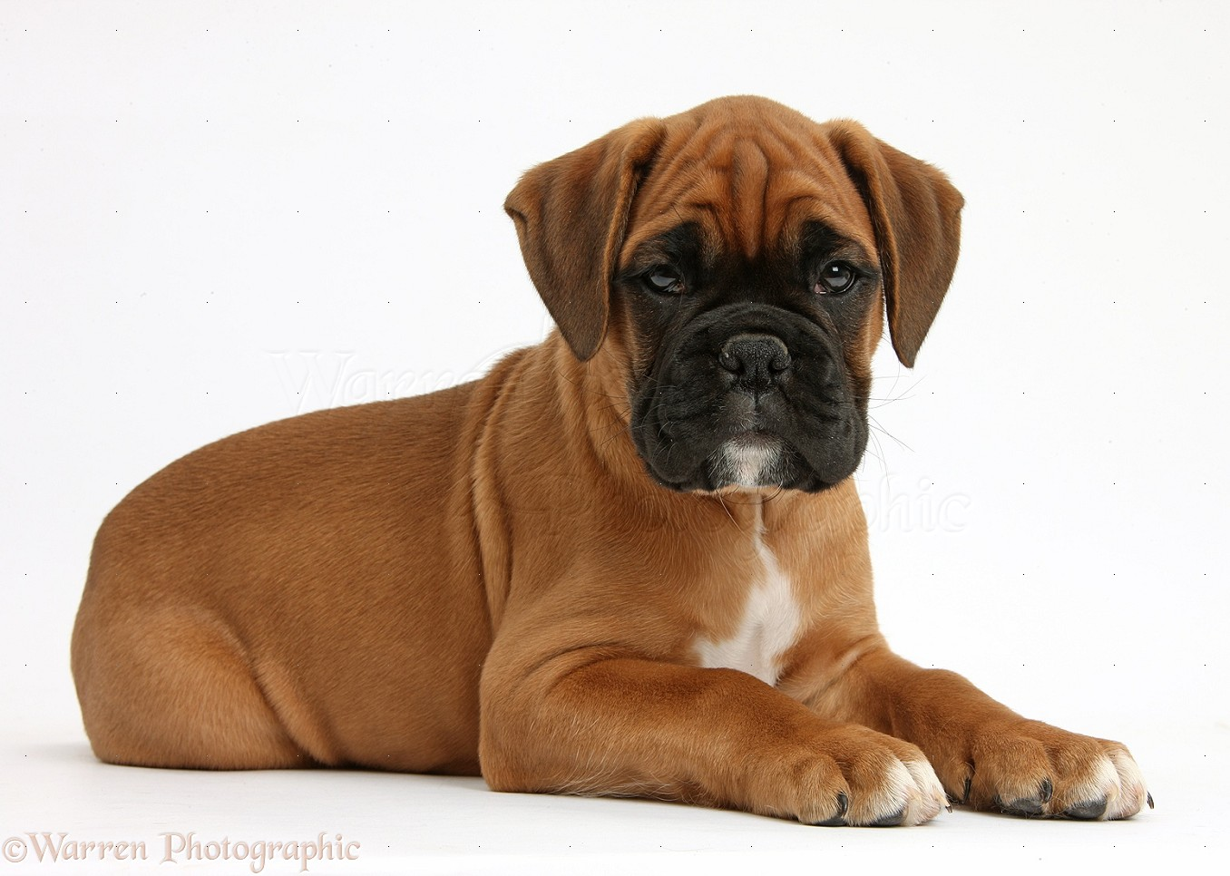brown boxer puppy