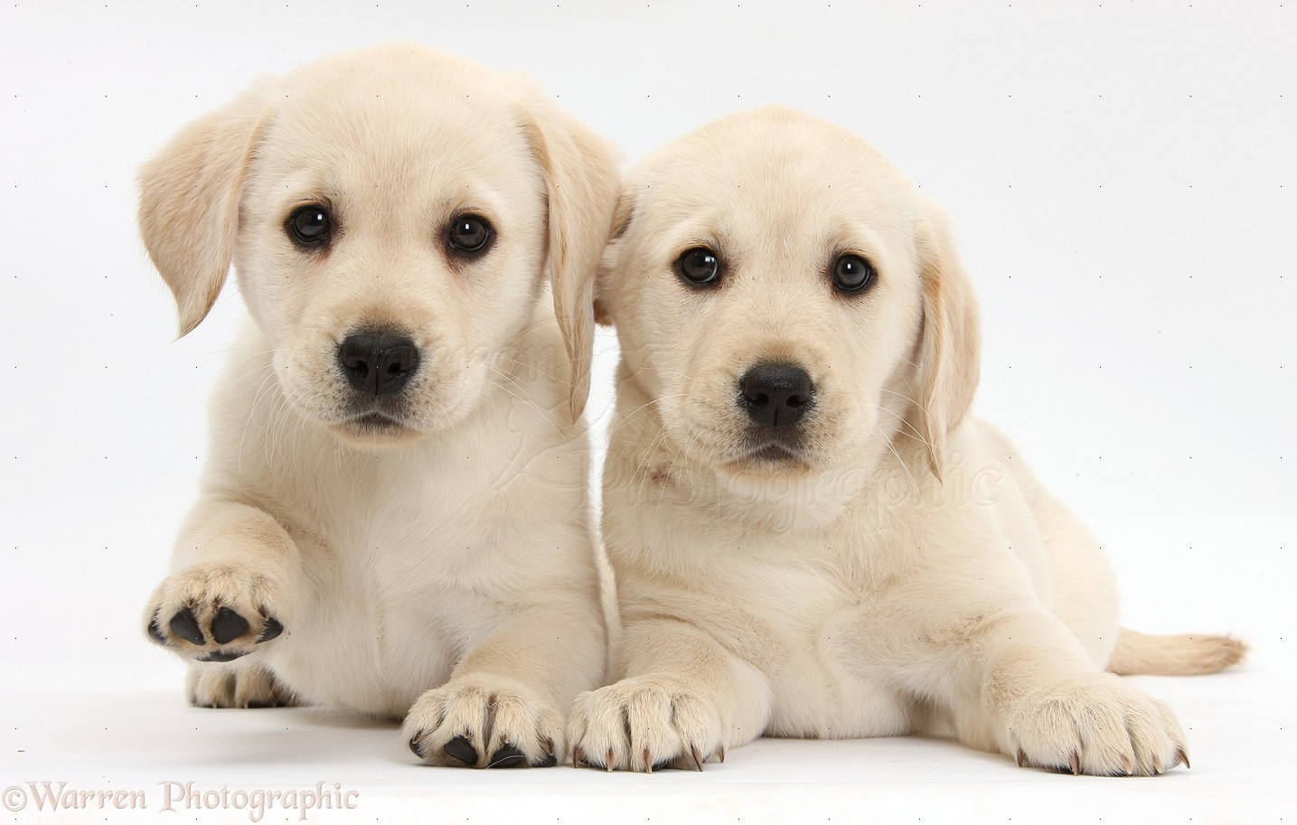 Yellow Labrador Retriever Puppies 8 Weeks Old