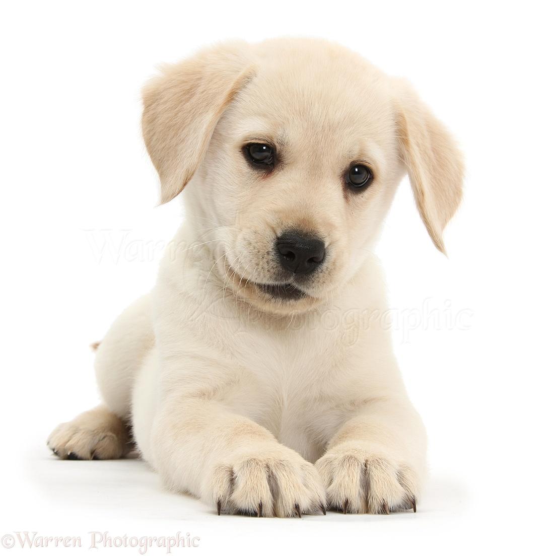 Yellow golden retriever puppies