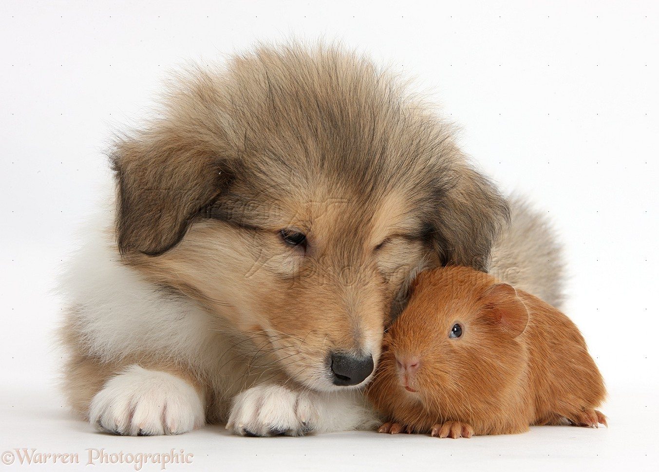 pets sable rough collie puppy and baby red guinea pig