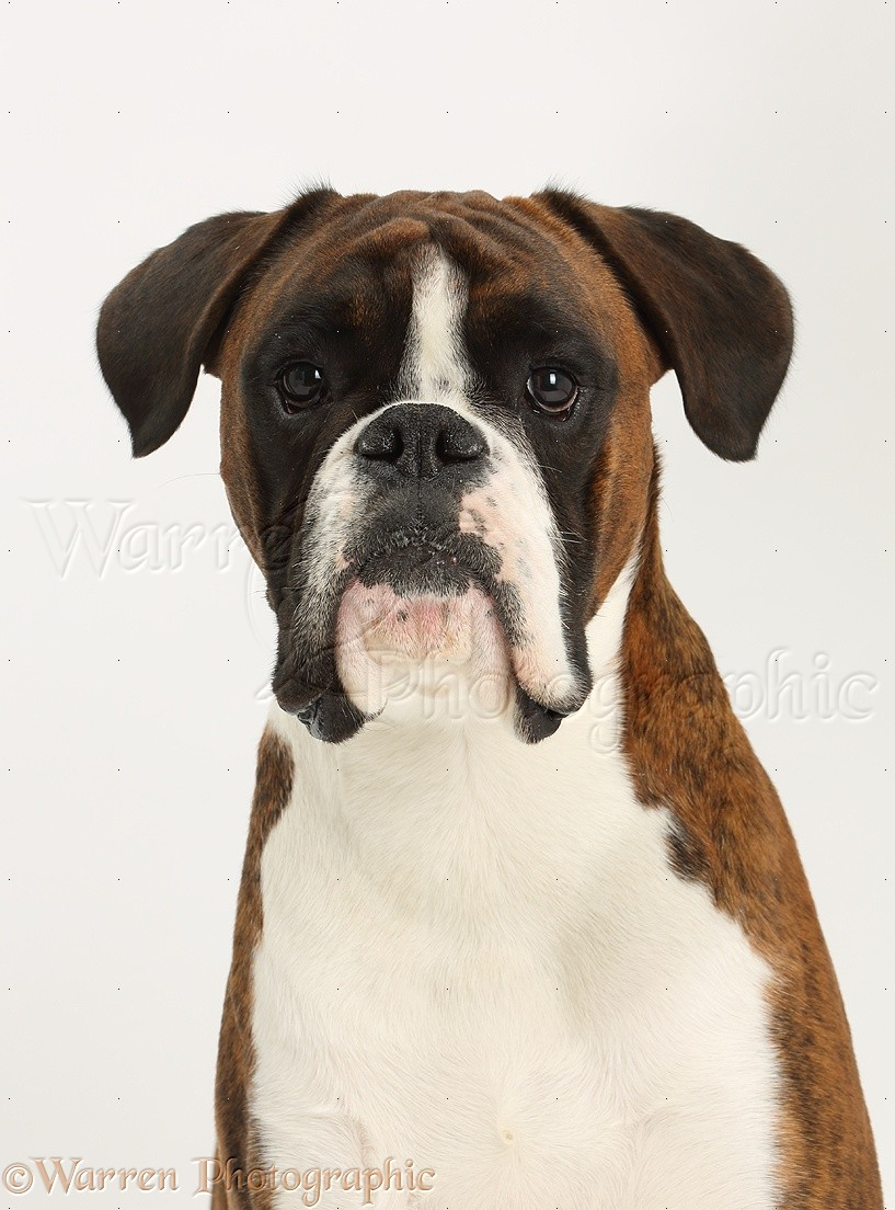 Dog: Boxer portrait photo - WP38195