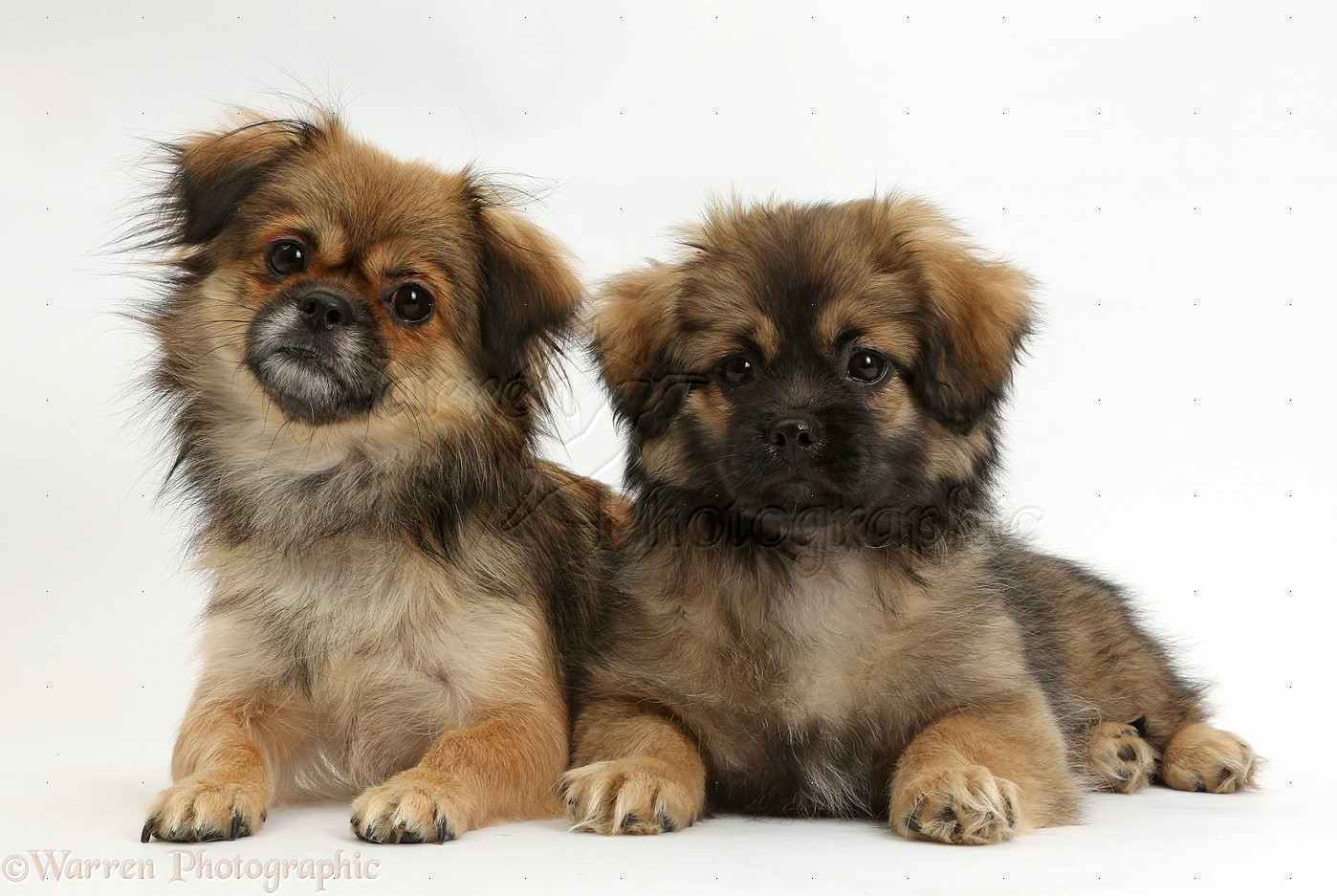Dogs Tibetan Spaniel And Puppy Photo Wp38205