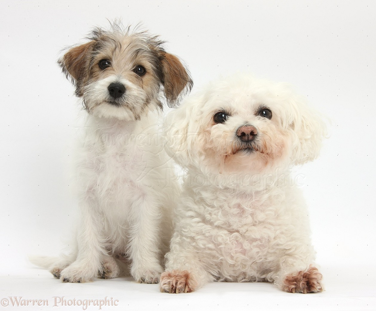 Dogs: Bichon Frise and Bichon x Jack Russell puppy photo ...