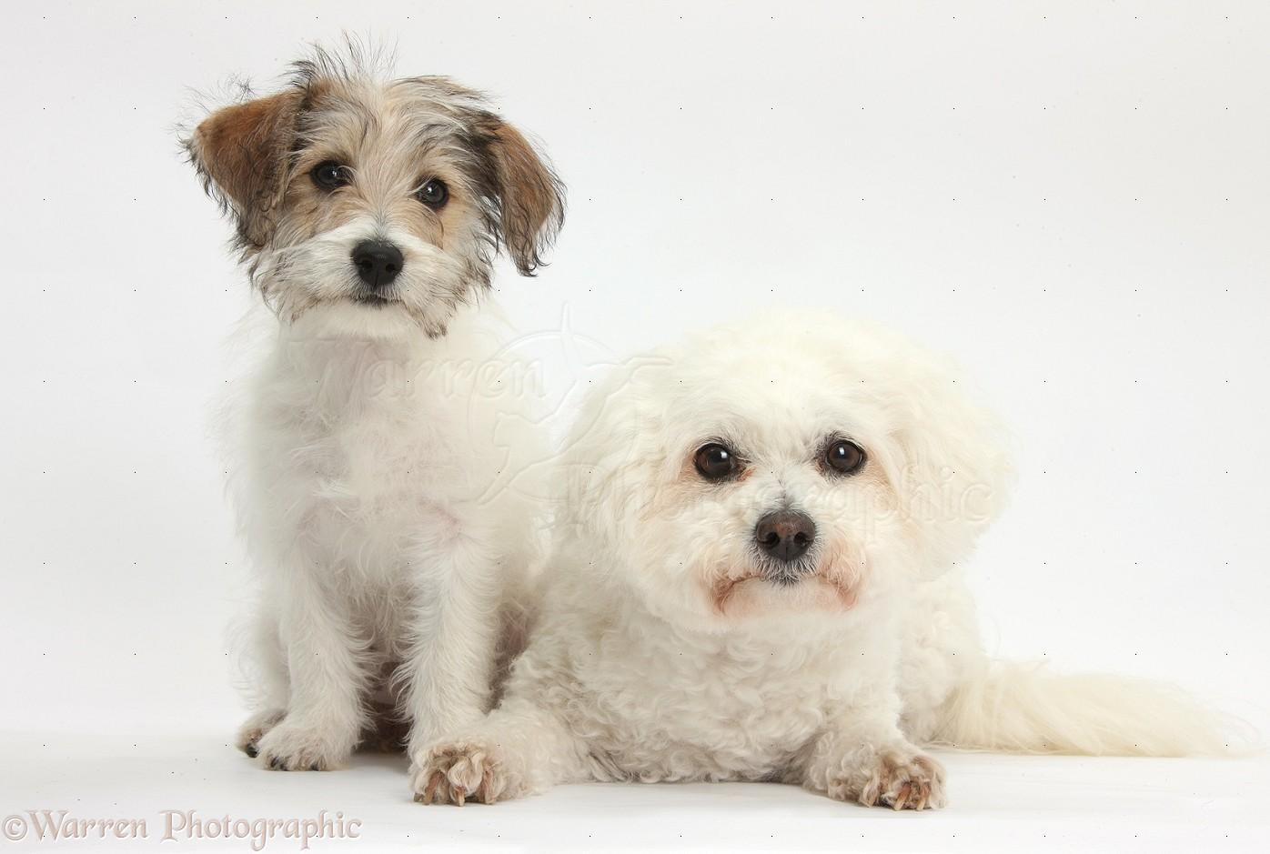 ... Bichon Frisé bitch, Pipa , with Bichon x Jack Russell Terrier