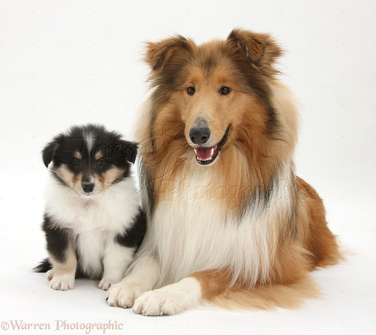 Collie Dogs And Puppies Related Keywords Amp Suggestions Collie Dogs