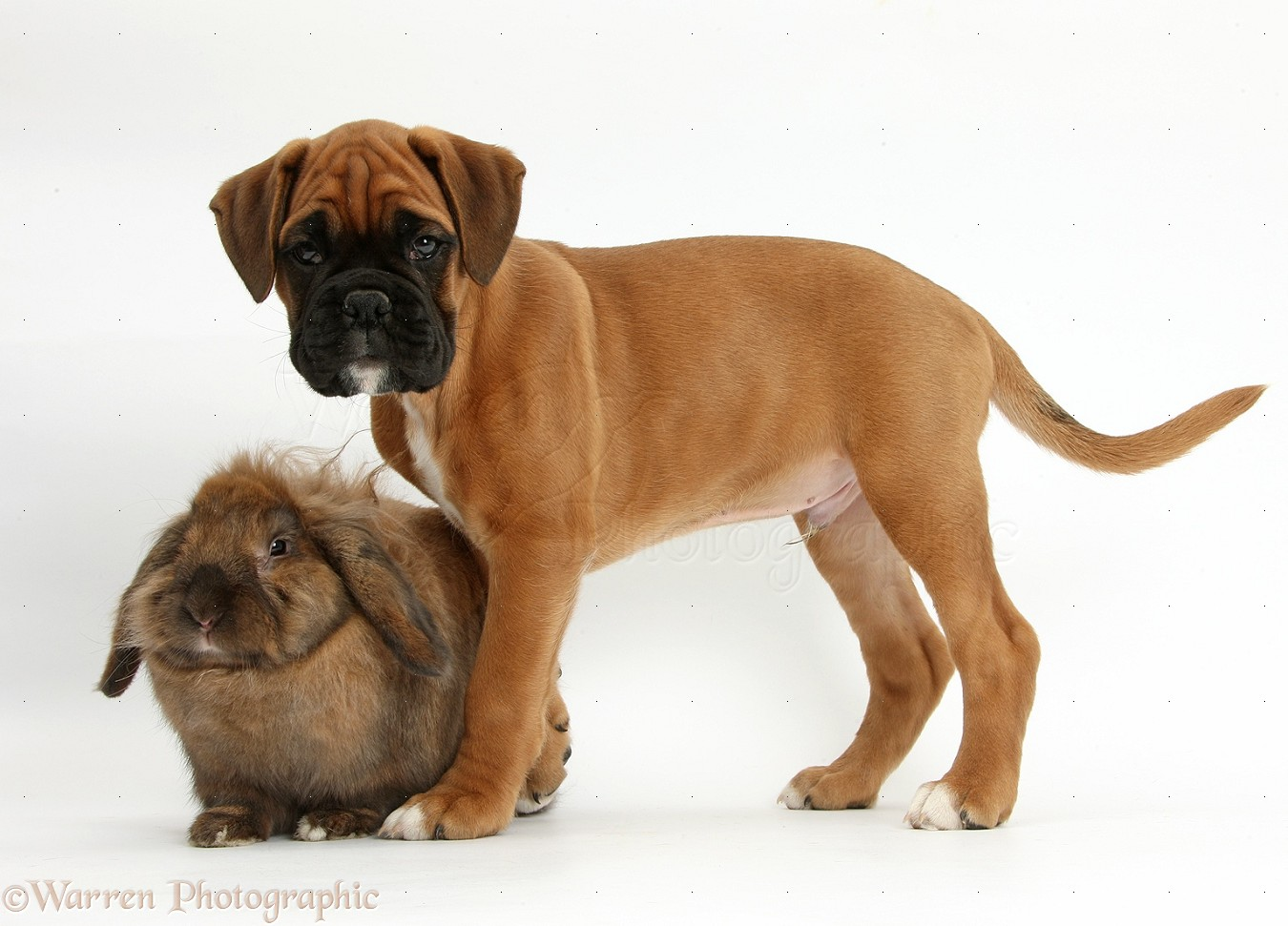 Boxer-Bunny   Boxer dogs, Boxer, Dogs and puppies  Boxer Dogs With Bunnies