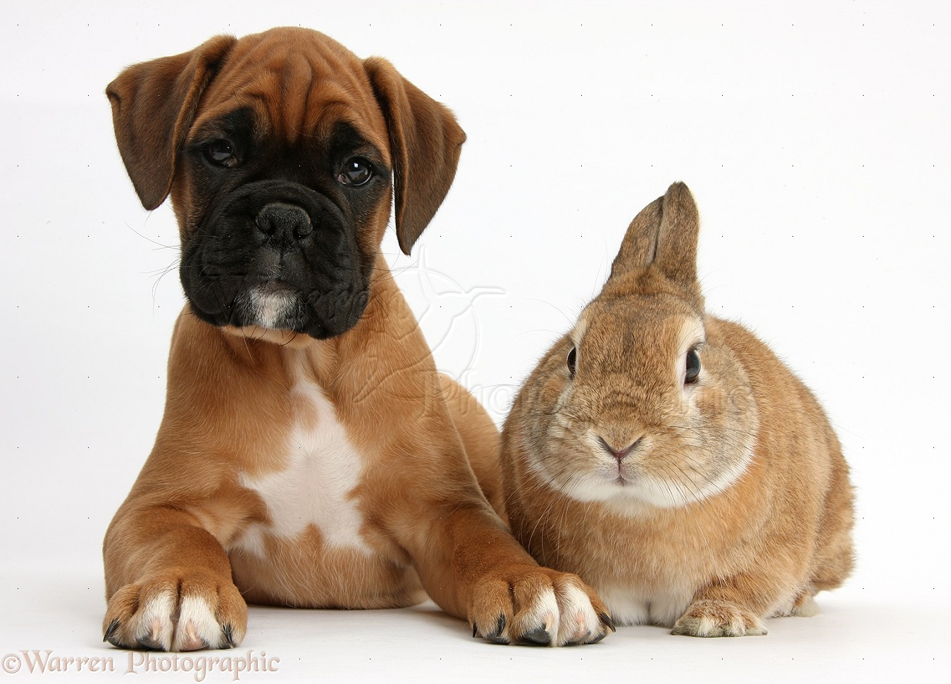 Pets Boxer Puppy And Rabbit Photo WP38293