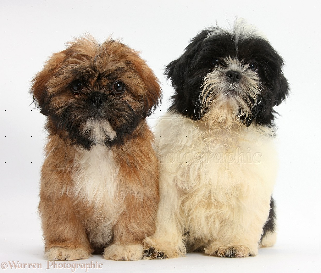 Dogs: Brown and black-and-white Shih-tzu puppies photo WP38314