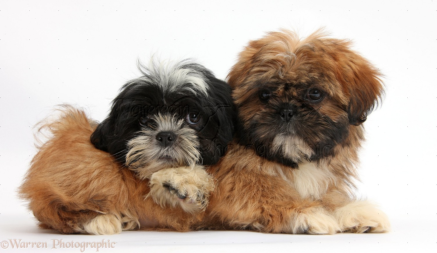 Dogs Brown And Black And White Shih Tzu Puppies Photo Wp38315