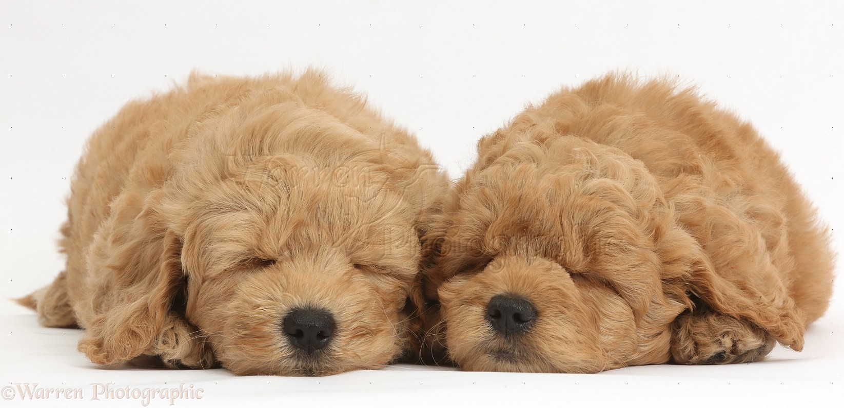 dogs: cute sleeping f1b goldendoodle puppies photo wp38331