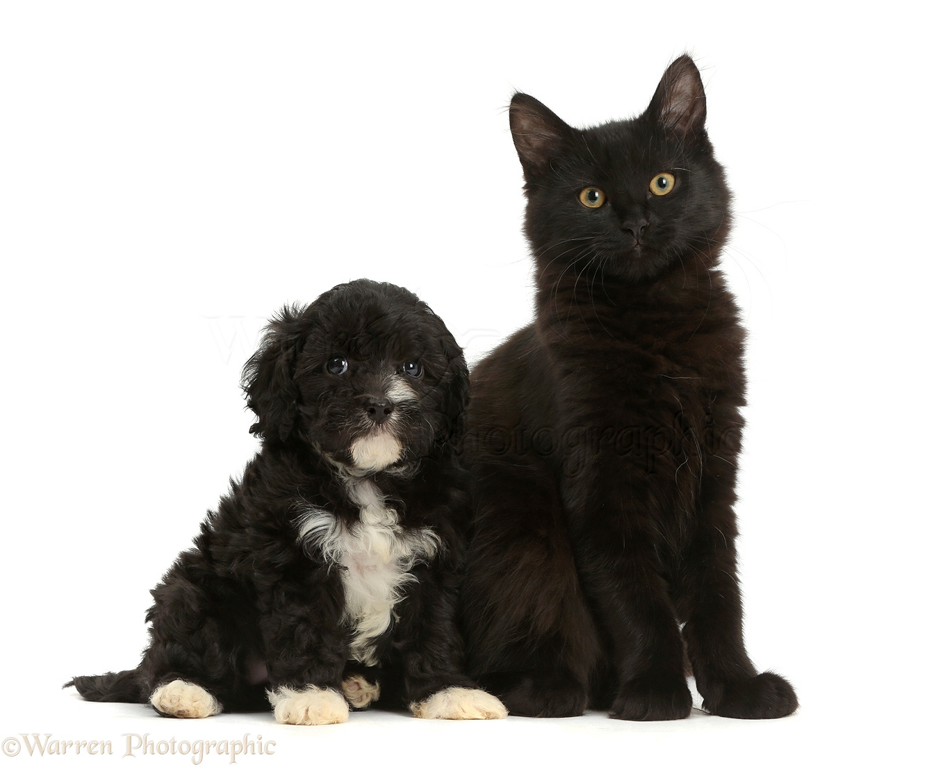 pets fluffy black kitten with blackandwhite puppy photo