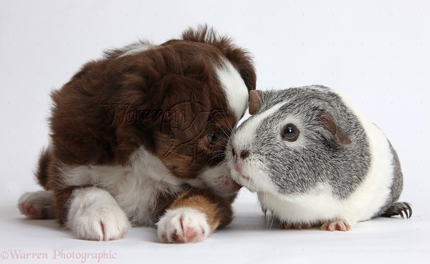 Pets: Mini American Shepherd puppy and Guinea pig photo