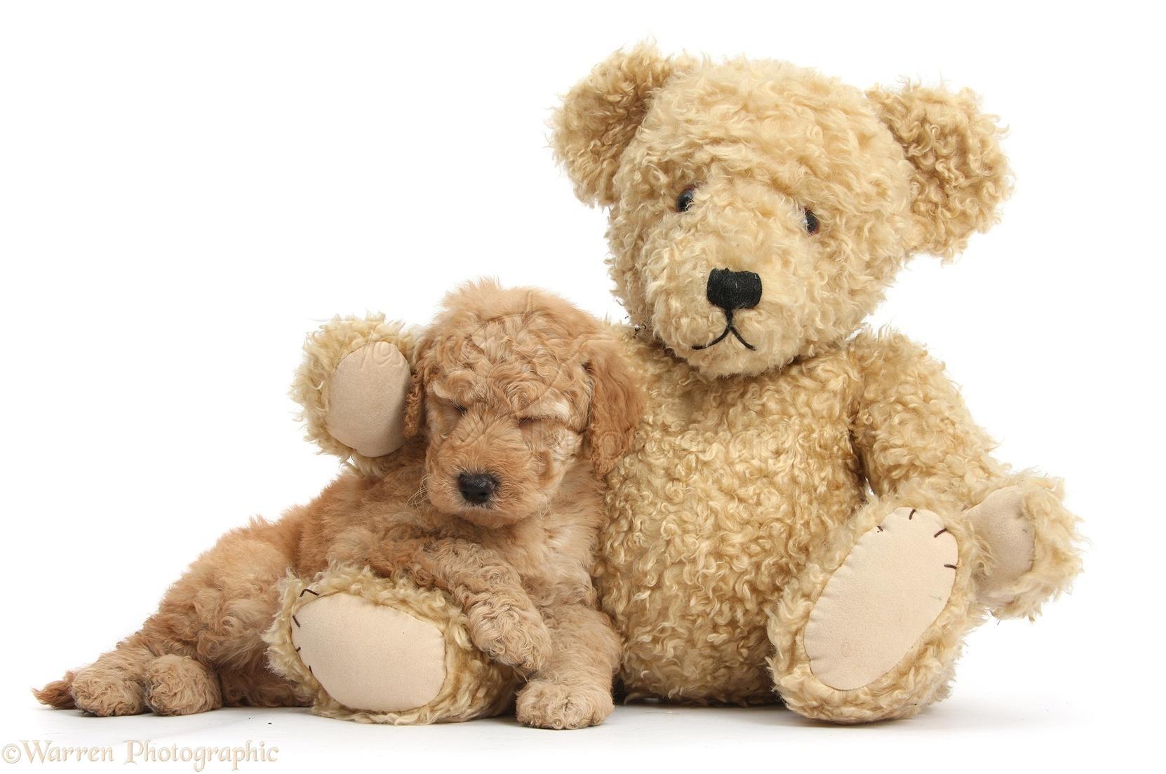 Dog Cute Toy Goldendoodle Puppy Sleeping On Teddy Bear Photo Wp38424