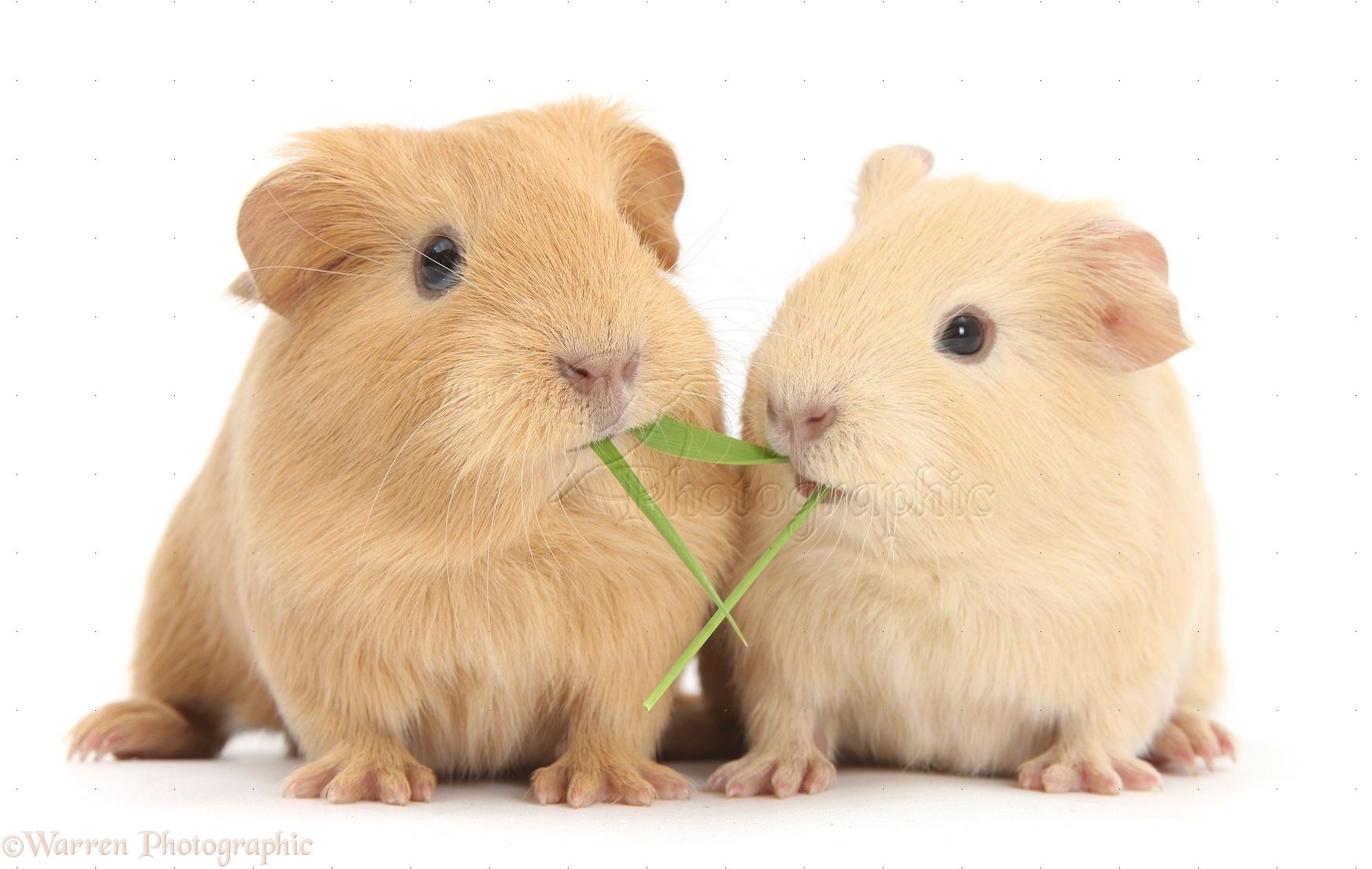 Image titled Treat Leg Injuries in Guinea Pigs Step 2