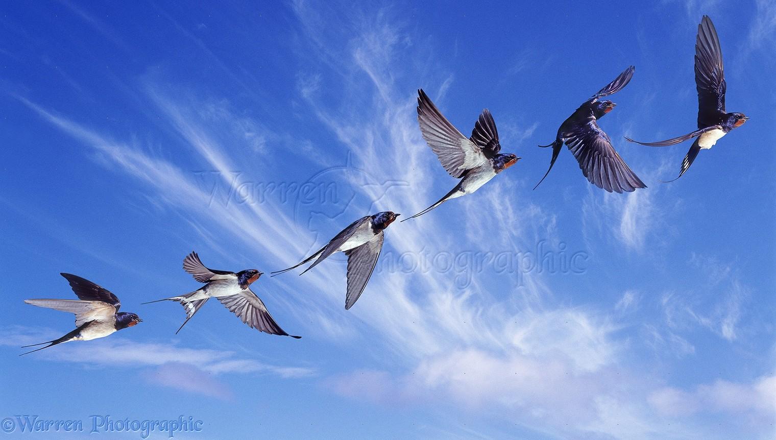 Barn swallow videos, photos and facts - Hirundo rustica Swallow in flight photos