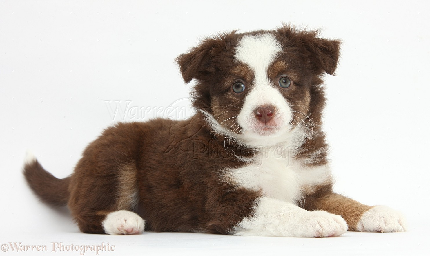 Dog: Mini American Shepherd puppy photo WP38433