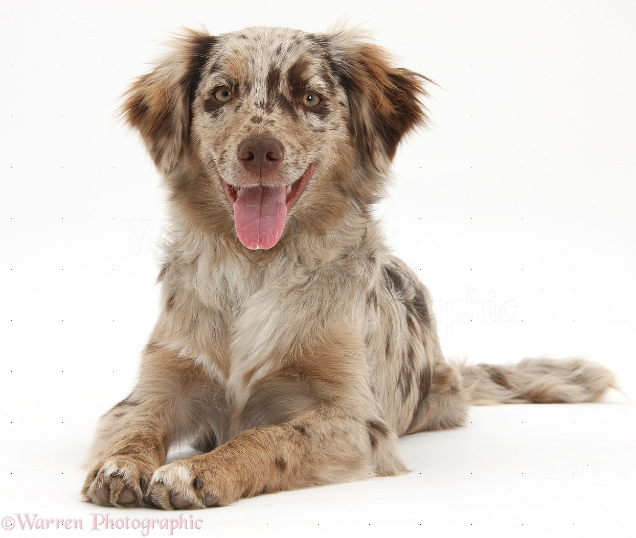 dog red merle mini american shepherd photo wp38455