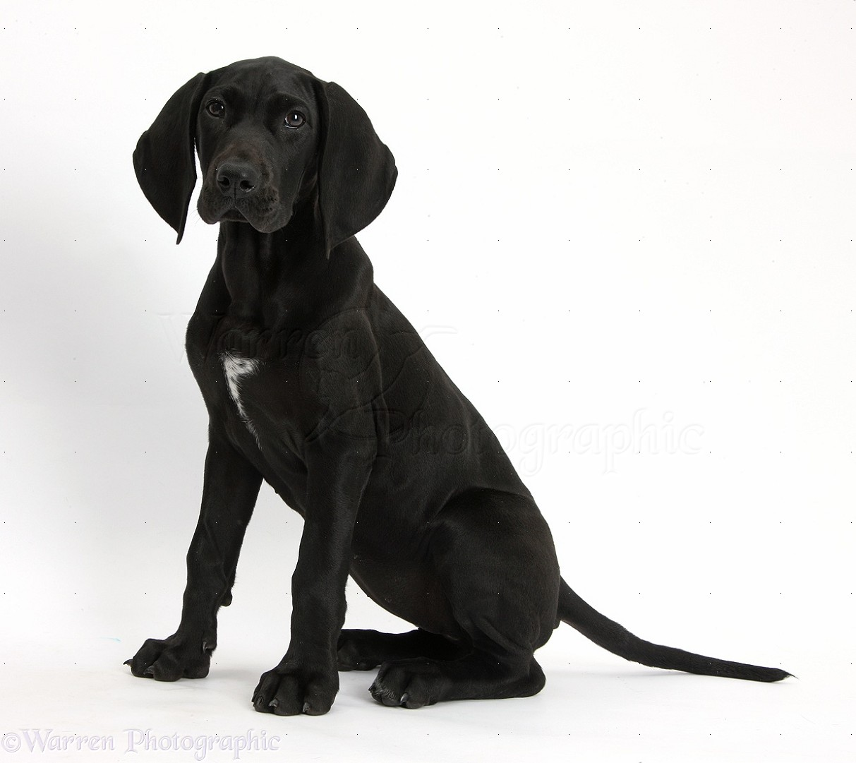 Pointer (dog breed) - Wikipedia