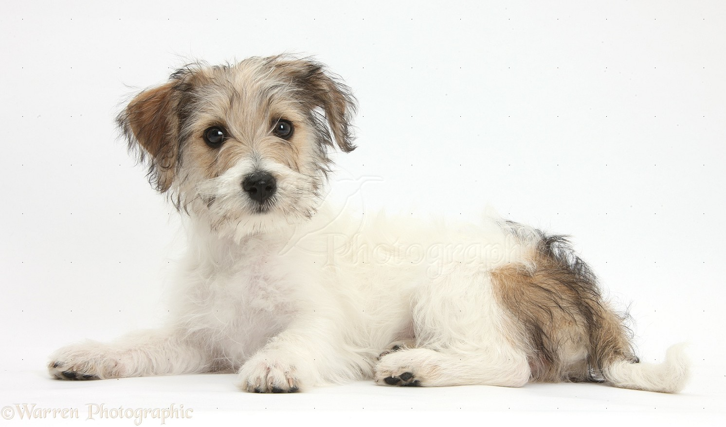 WP38480 Bichon Frise x Jack Russell Terrier puppy, Bindi , 12 weeks ... White Parson Russell Terrier