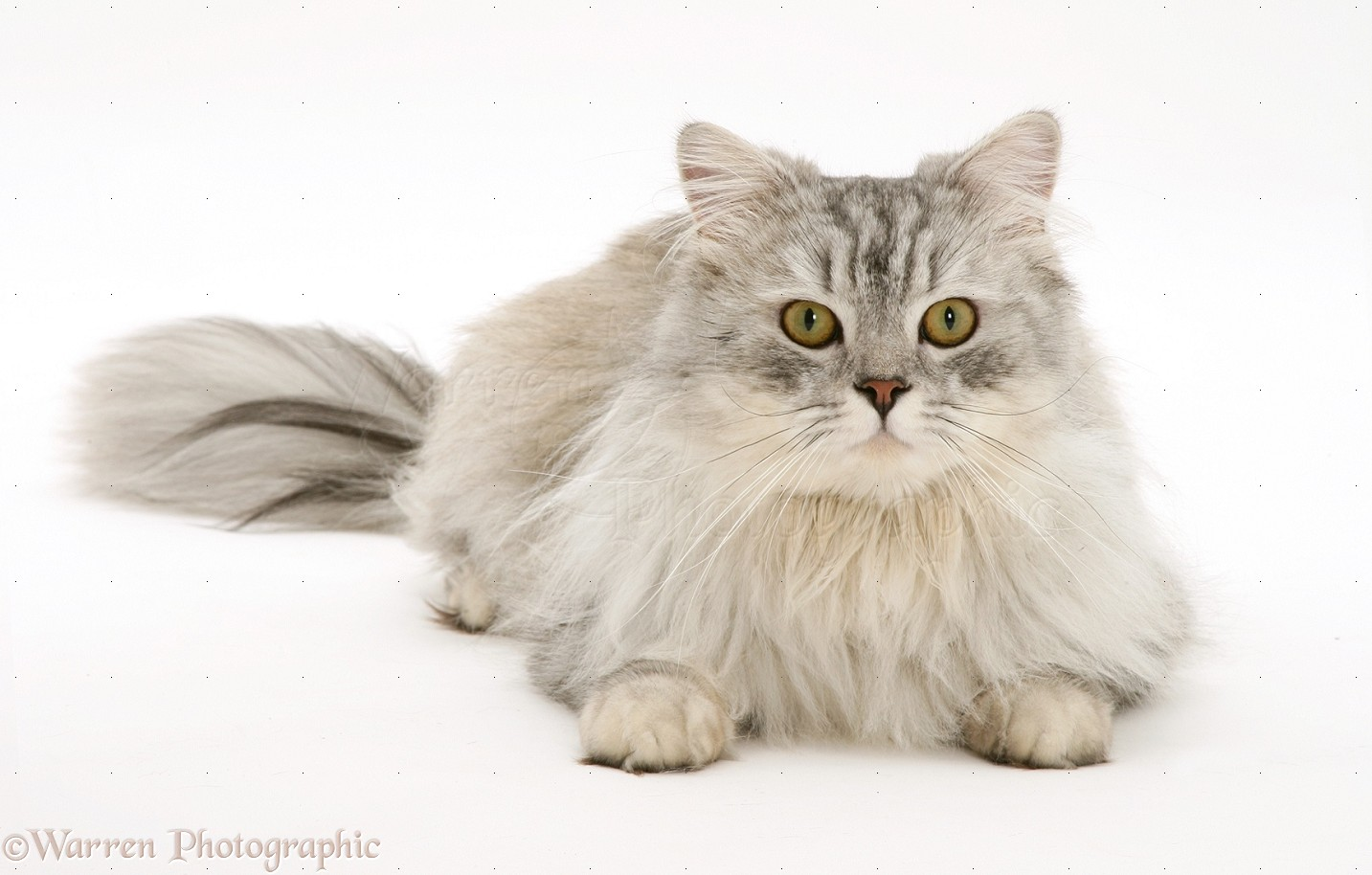 persian Adult kitty