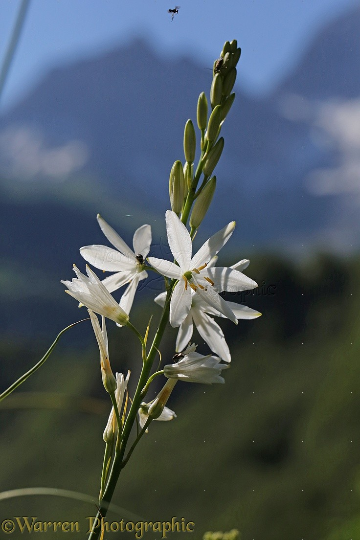 St Brunos Lily French Pyrenees Photo Wp38524