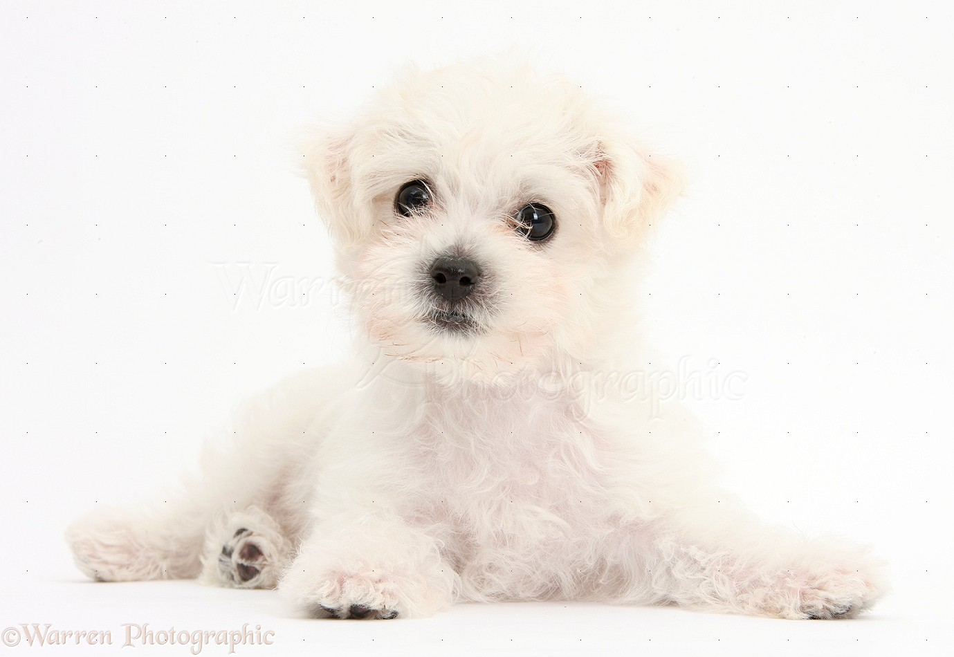 Dog Cute White Bichon X Yorkie Puppy Photo Wp38681