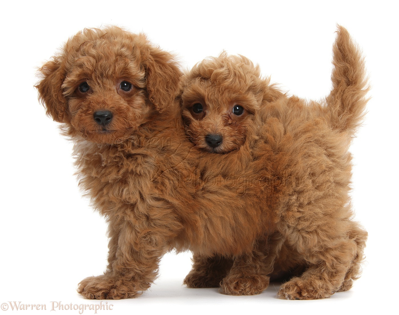 Red Toy Dogs : Dogs two cute red toy poodle puppies photo wp