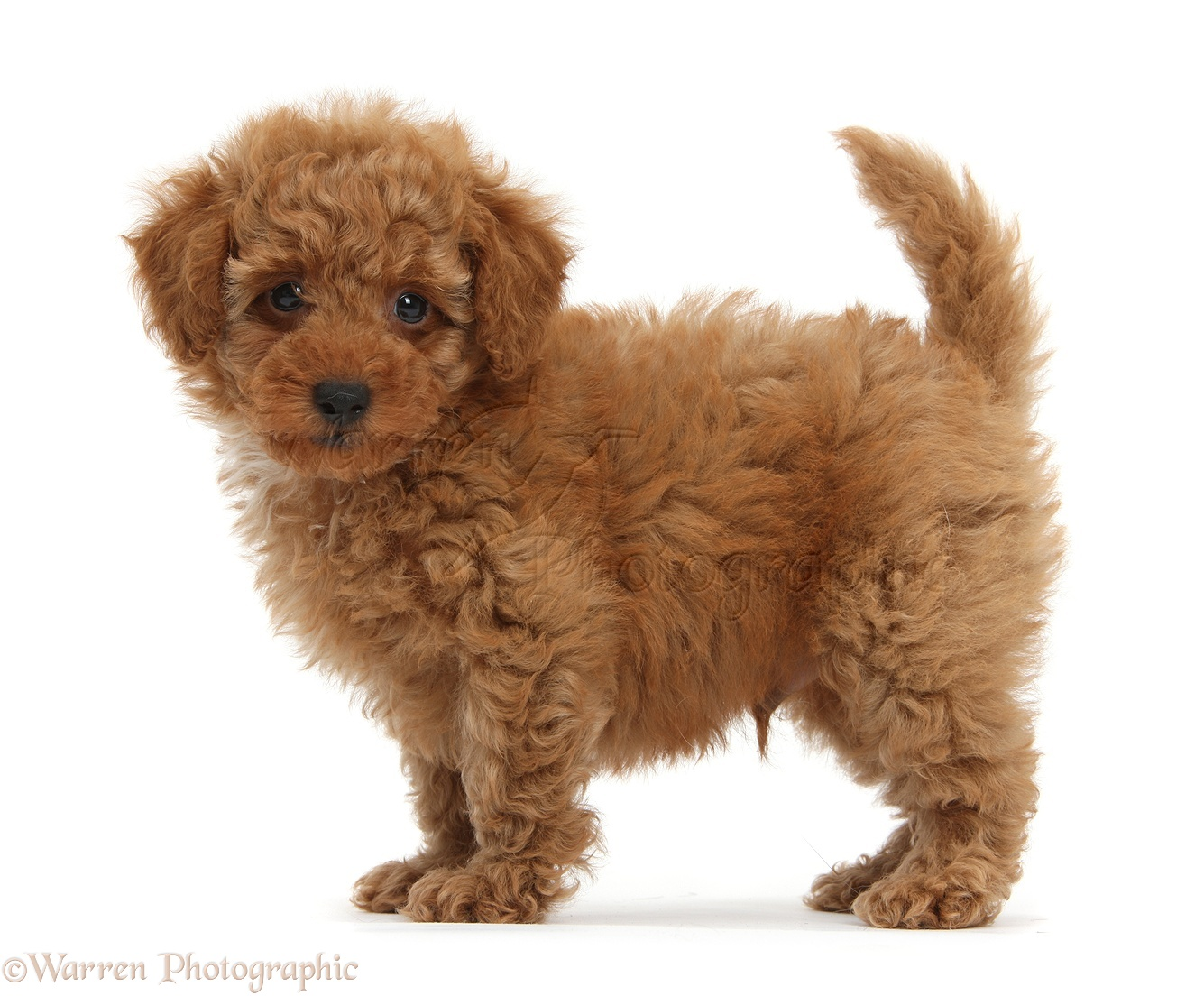 Dog: Cute red Toy Poodle puppy standing photo - WP38699