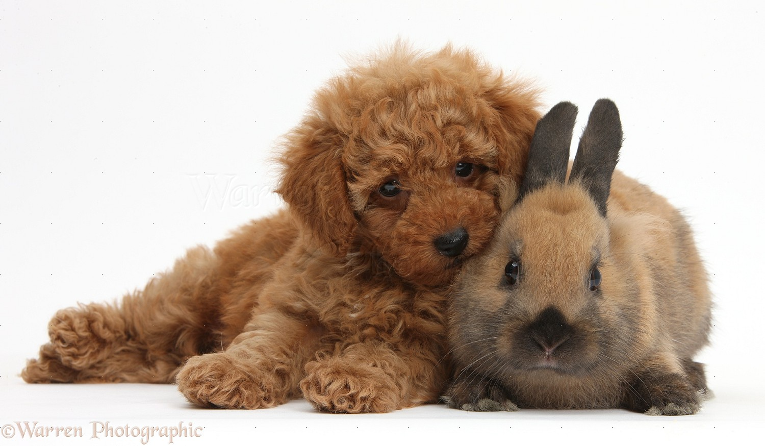 pets cute red toy poodle puppy and rabbit photo wp38700