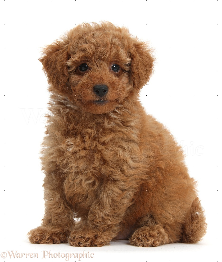 Cute Poodle Cute red toy poodle puppy