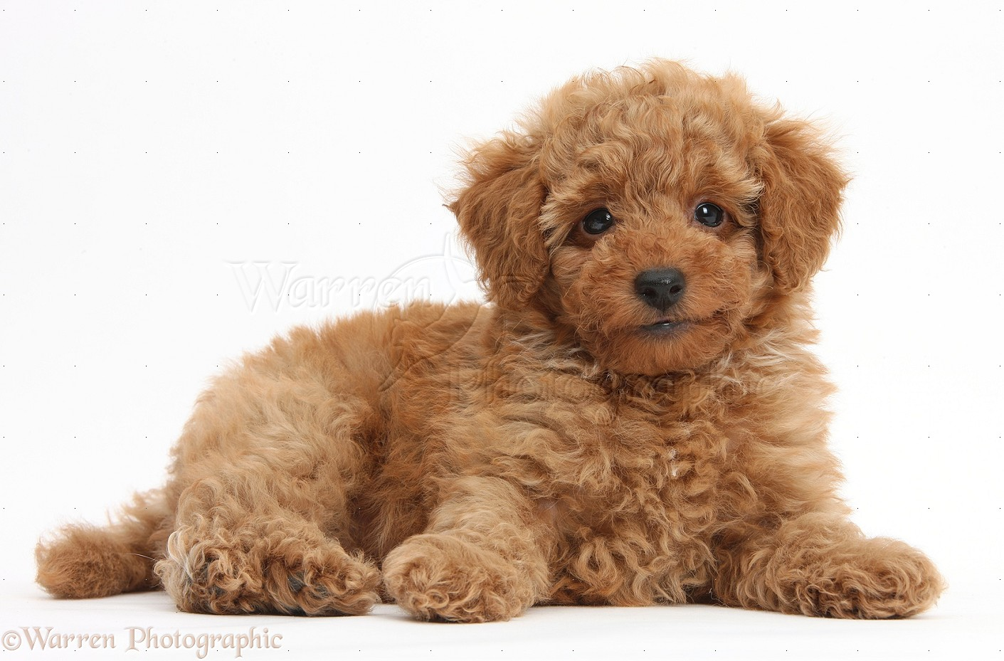 Dog: Cute red Toy Poodle puppy photo  WP38746
