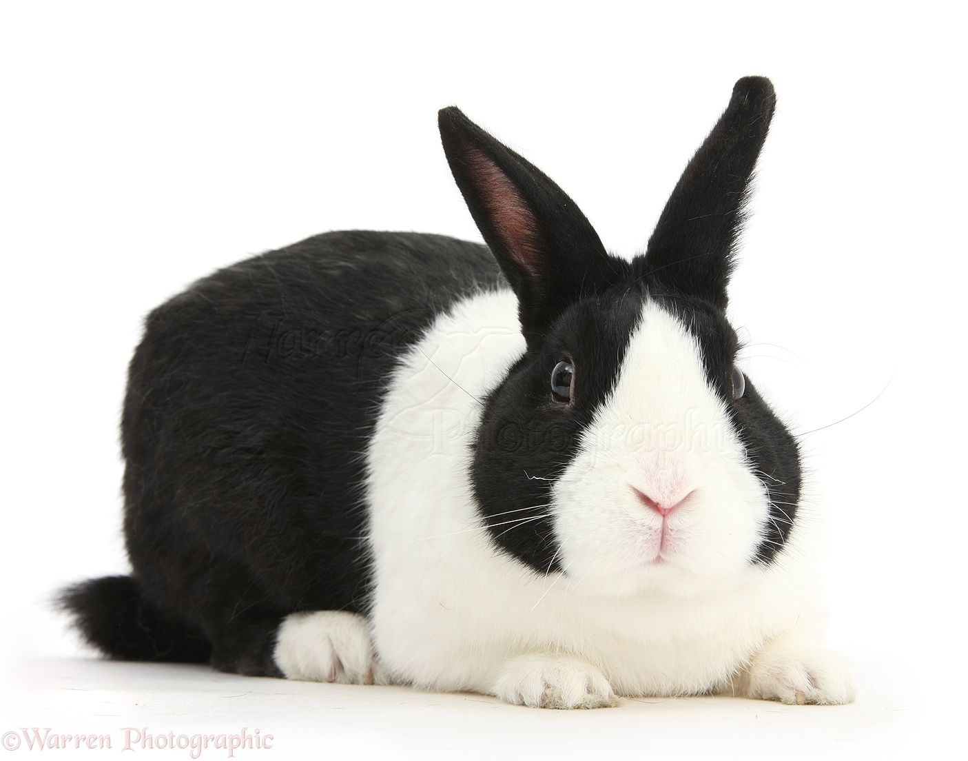 Black Dutch male rabbit