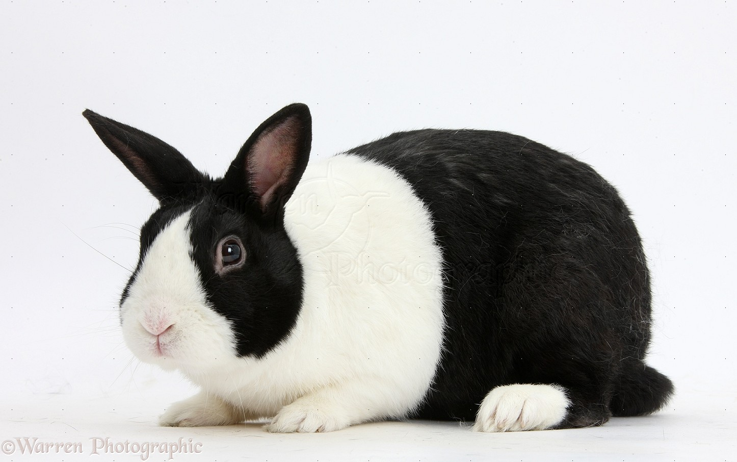 Pictures of black rabbits