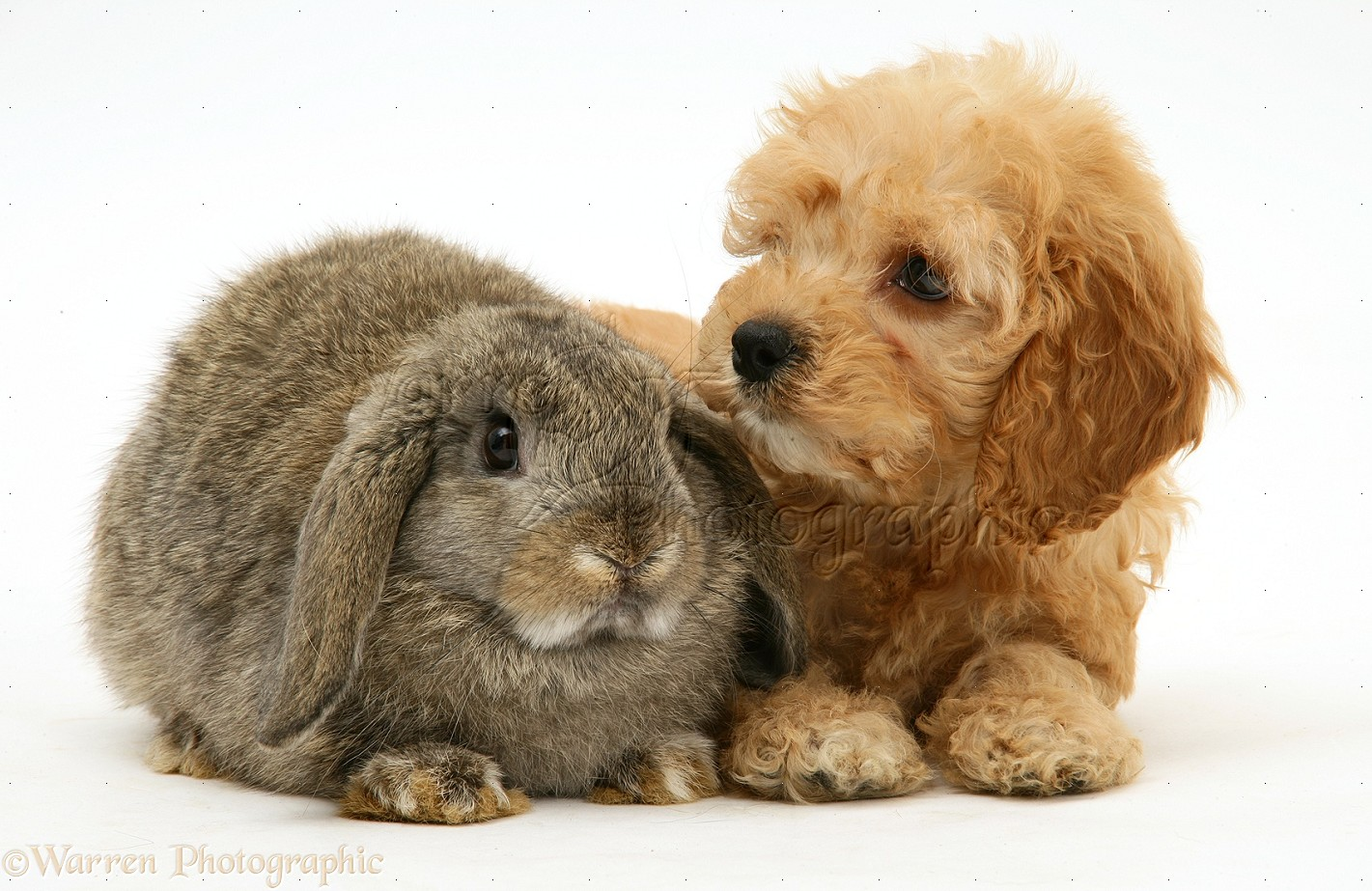 pets american cockapoo puppy with lop rabbit photo   wp38788