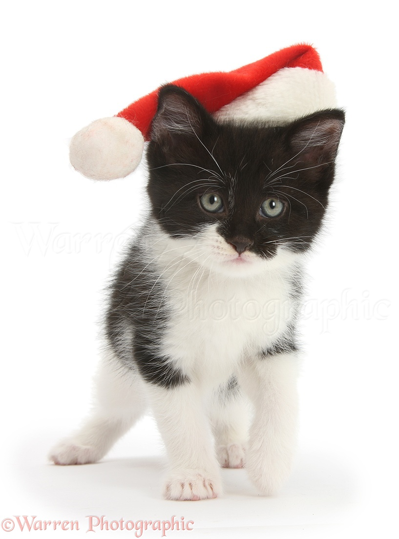 Kittens Wearing Santa Hats Wearing a Santa Hat