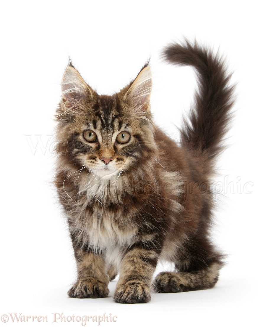Week Maine Coon Cat
