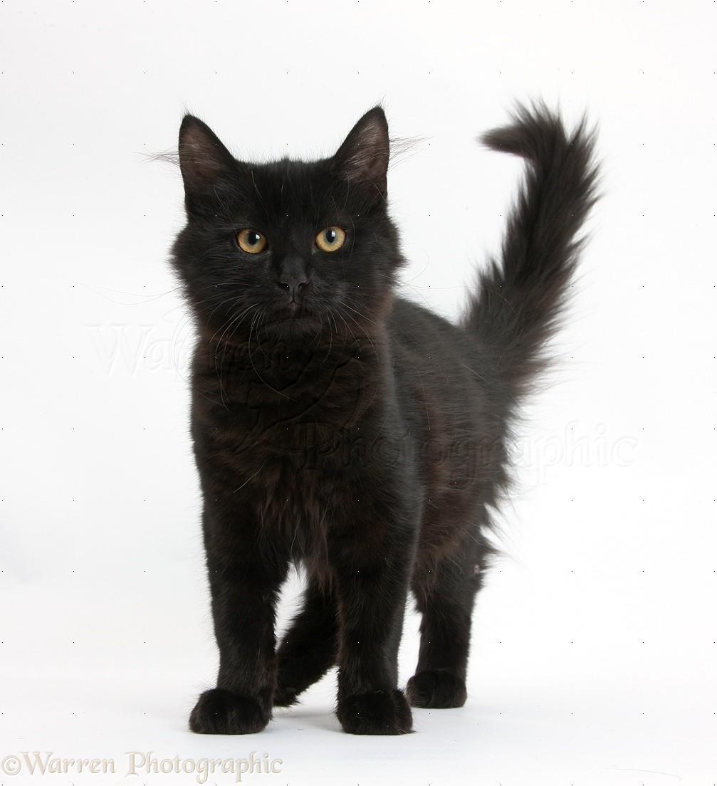 Fluffy Black Kitten  Standing Photo