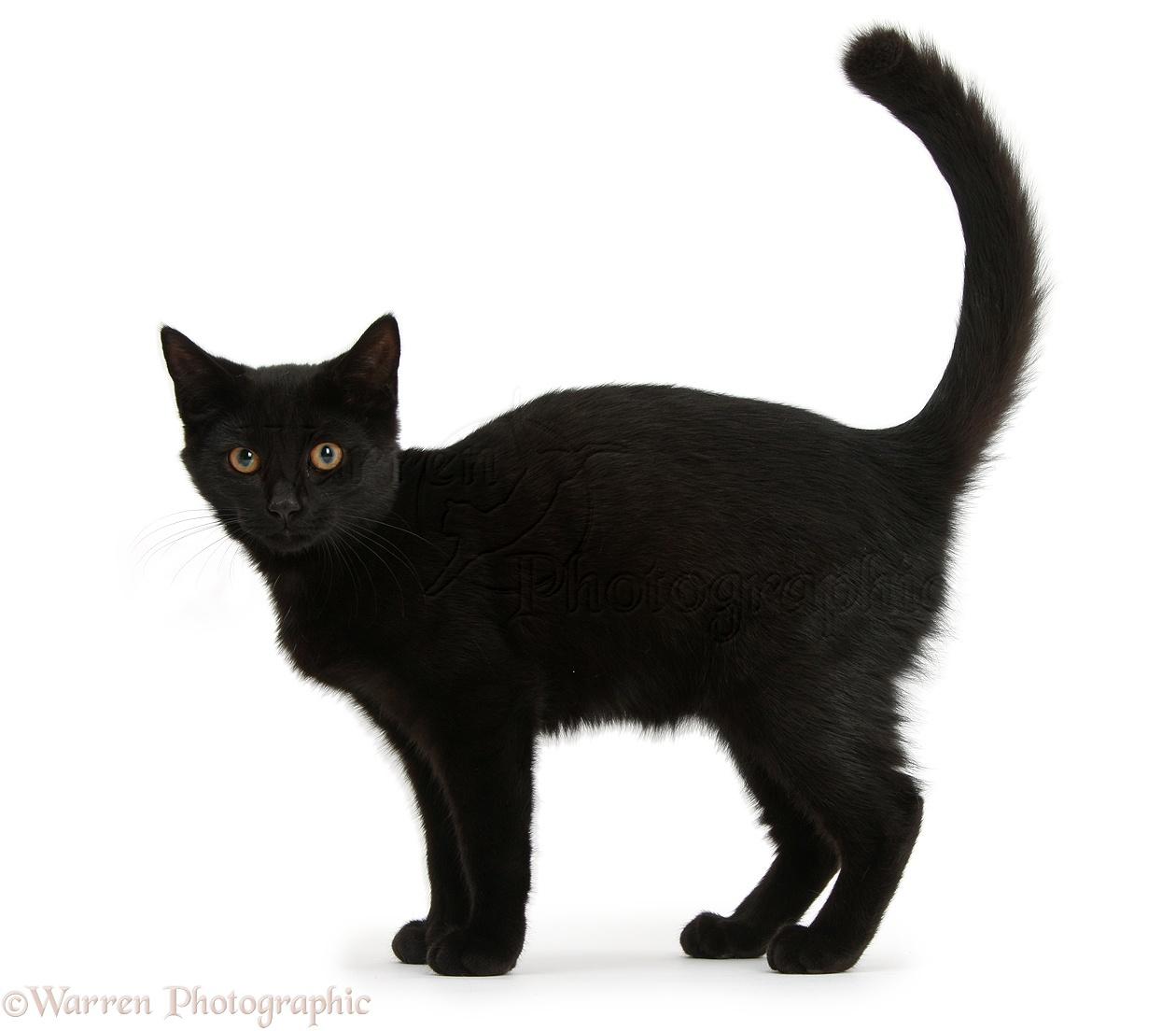 Black cat standing photo WP