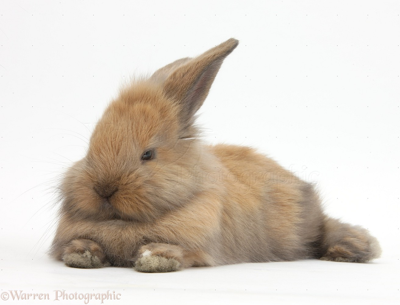 Brown and white lionhead rabbit - photo#45