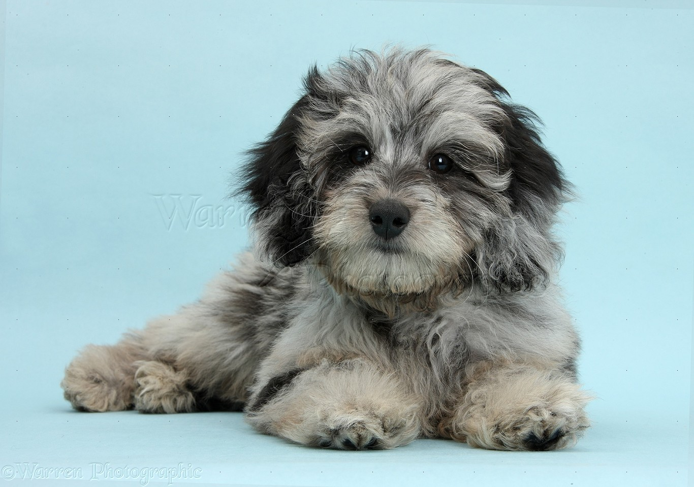 Black Fluffy Small Dog Breeds