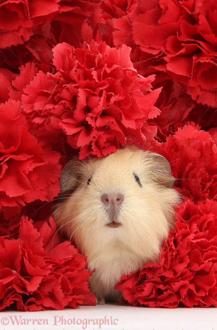 cute baby yellow guinea pig among red carnation flowers photo wp38976