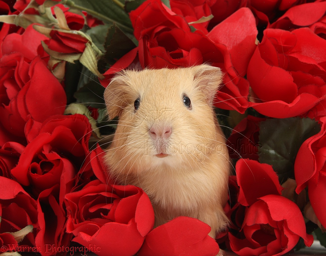 Cute baby yellow Guinea pig among red roses photo WP38980