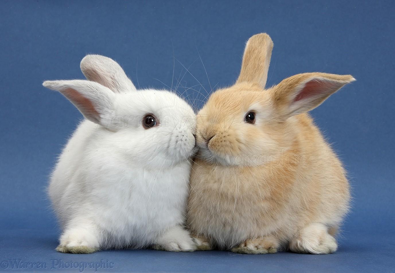 White Rabbit Pet