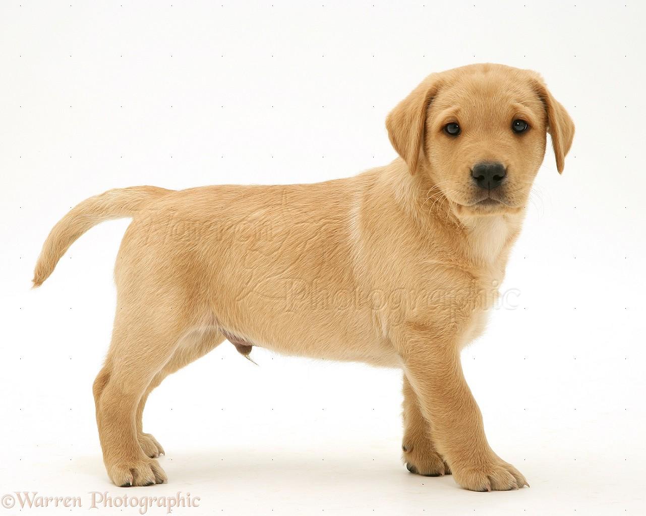 Yellow Background Dog: Yellow Labrador R...