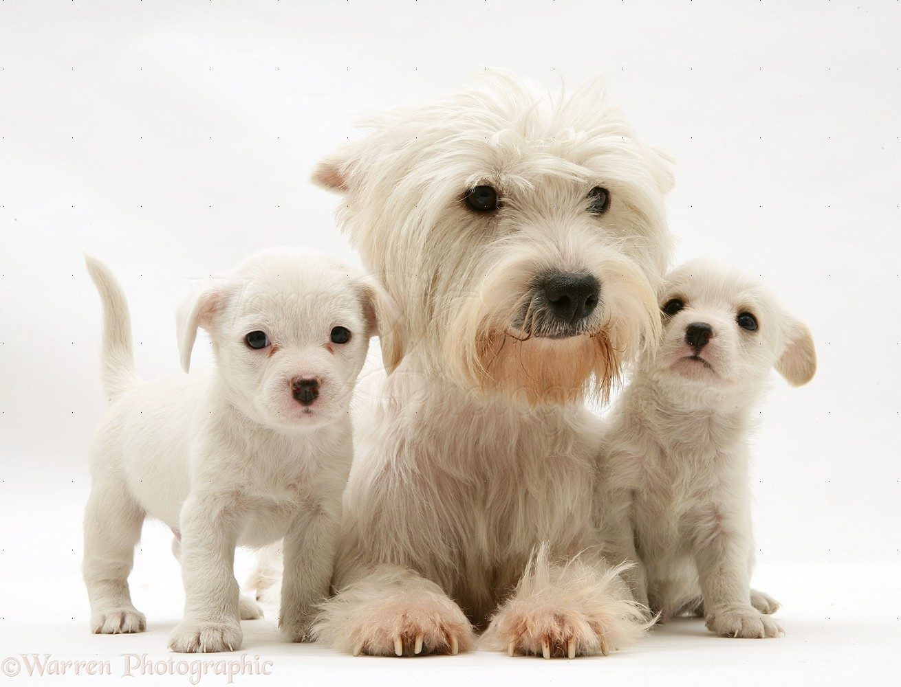 Dogs: Mother Westie with Westie x Cavalier pups photo - WP39125