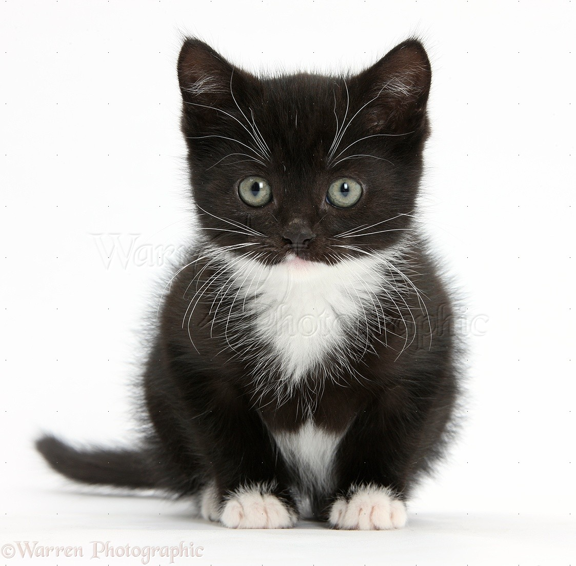 Balck And White Cat With Blue Eys